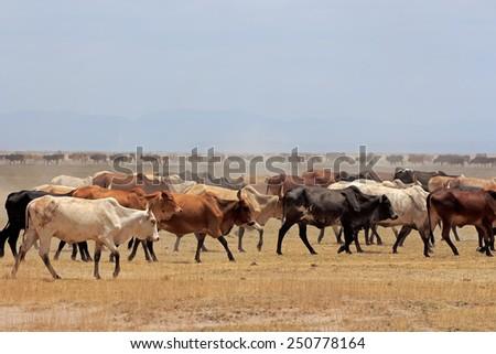 Herd of Masai cattle on dusty plains, Kenya - stock photo
