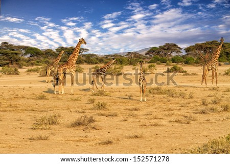 Herd of Massai Giraffe move over Serengeti, Africa  - stock photo