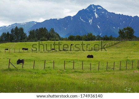 Herd of Musk Ox in Southern Alaska, United States - stock photo