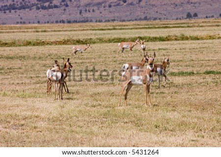 "Herd of North American Pronghorn ""antilocapra Americanus"" on cut alfalfa feilds"