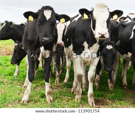 Herd of of inquisitive Holstein cows