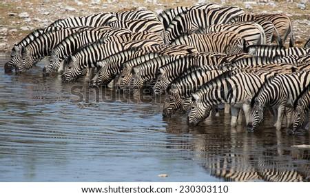 Herd of Plains Zebra at Waterhole, Etosha National Park, Namibia - stock photo