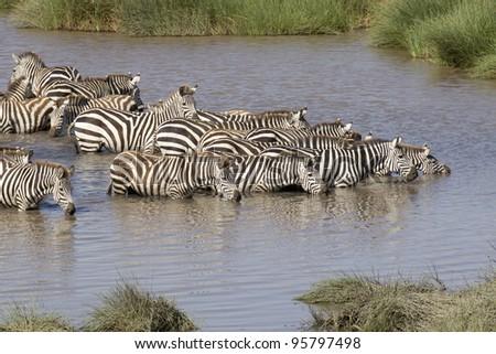 Herd of Plains Zebra (Equus burchellii) drinking from a natural waterhole in Tanzania's Serengeti National Park - stock photo