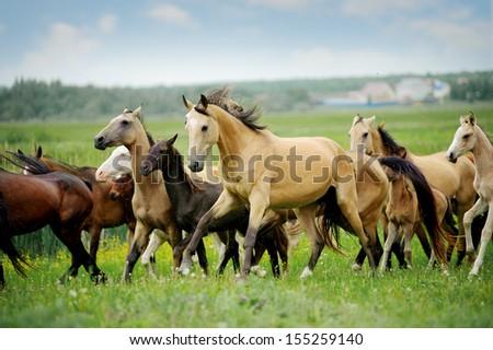 herd of purebred akhalteke horses in summer - stock photo
