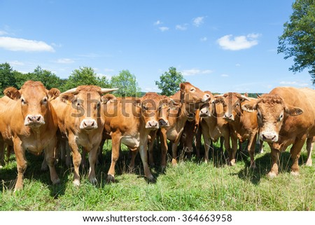 Herd of red brown Limousin beef cattle with cows and a  bull standing in a line staring inquisitively at the camera in a lush green pasture with blue sky in a close up view - stock photo