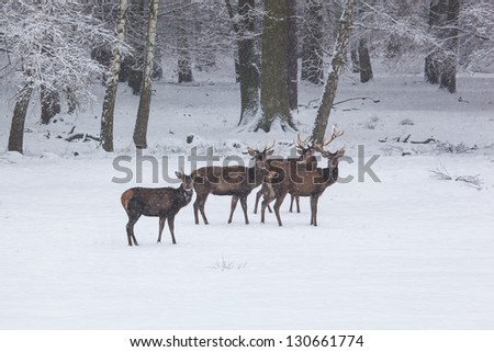 herd of red deer on a snowy meadow behind the winter forest during snowfall - stock photo