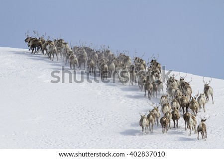 herd of reindeer running around the mountain winter sunny day