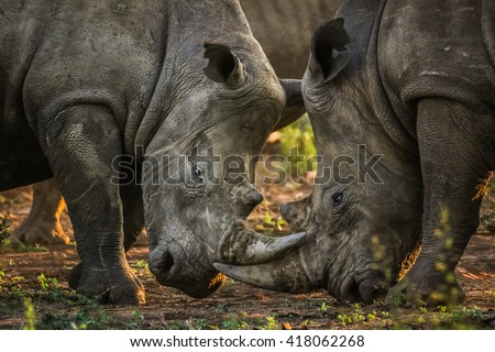 Herd of rhino fighting in dust at sunrise, South Africa - stock photo