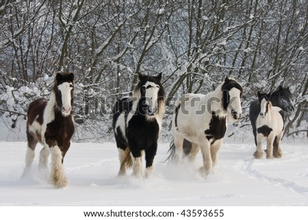 Herd of running spotted horses - stock photo