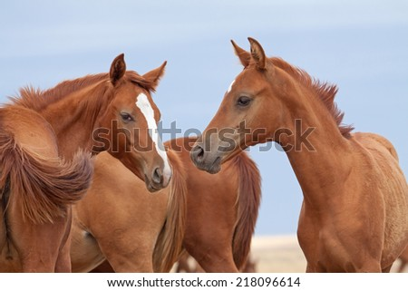 Herd of Russian Don horses in the steppe
