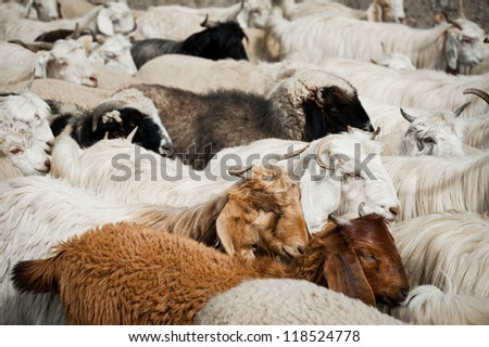 Herd of sheep and kashmir (pashmina) goats from Indian highland farm in Ladakh - stock photo