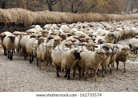 Herd of sheep gathering in Transylvania - stock photo