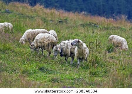 herd of sheep grazing on mountain meadow - stock photo