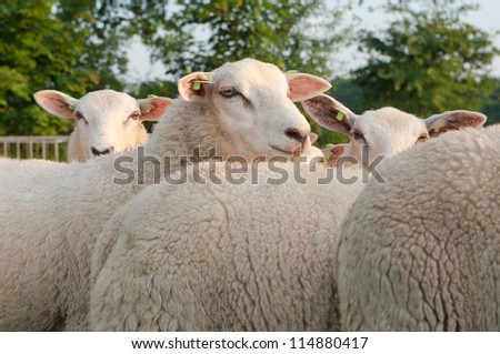 herd of sheep in a dutch meadow