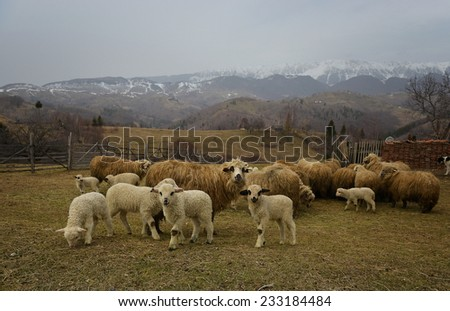 Herd of sheep on beautiful mountain meadow   - stock photo