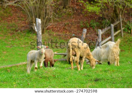 Herd of sheep on beautiful mountain meadow  - stock photo