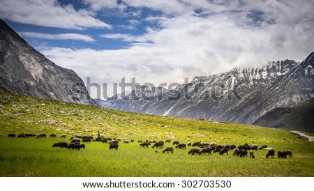 Herd of sheep on beautiful mountain meadow with Himalaya Mountain - stock photo