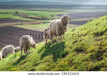 Herd of sheep on meadow - stock photo