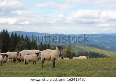 herd of sheep on pasture, Velke Karlovice, national protected area Beskydy, Czech republic - stock photo