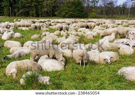 Herd of sheep.  sheep grazes on a green field - stock photo