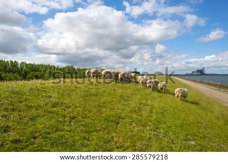 Herd of sheep walking on a sunny dike in spring
