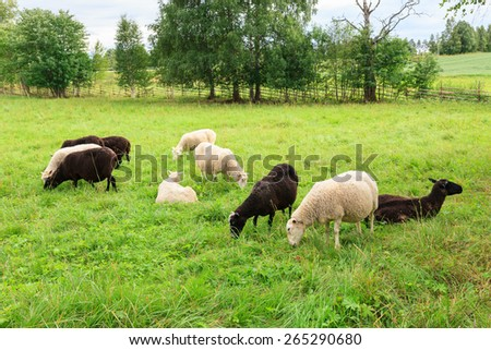 Herd of sheeps in the meadow - stock photo