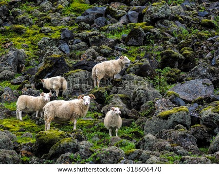 Herd of sheeps on lava fields, Iceland - stock photo