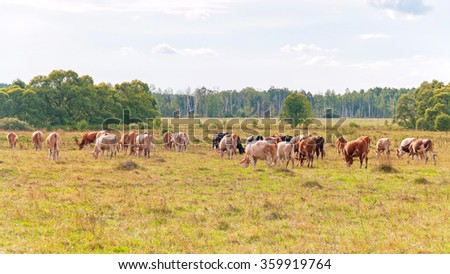Herd of skewbald cows grazing on meadow. Kaluzhsky region, Russia.  - stock photo