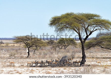 Herd of springboks looking for shade under a tree in Etosha National Park, Namibia