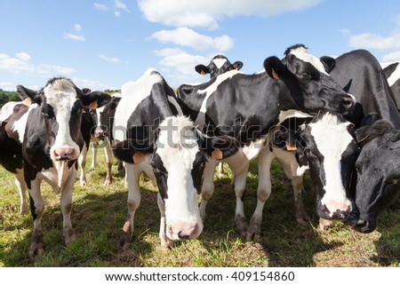 Herd of very curious black and white Holstein dairy cows pushing their heads close and  peering at the camera jostling for position in a sunny pasture - stock photo