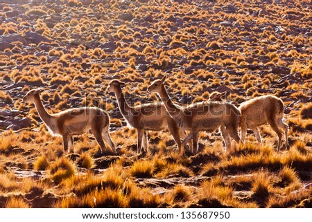 Herd of vicunas in the pampas of the Bolivian altiplano ancestor of the llama and the alpaca a south american wild camel living in Altacama desert - stock photo