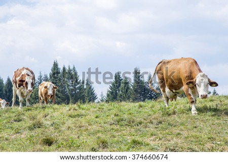 Herd of white and brown cows approaching along the pasture - stock photo