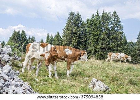 Herd of white and brown cows grazing on an alpine pasture surrounded by conifer trees - stock photo