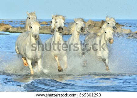 Herd of White Camargue Horses running on the water . Parc Regional de Camargue - Provence, France  - stock photo