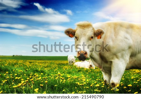 Herd of white cows at summer dandelion field - stock photo