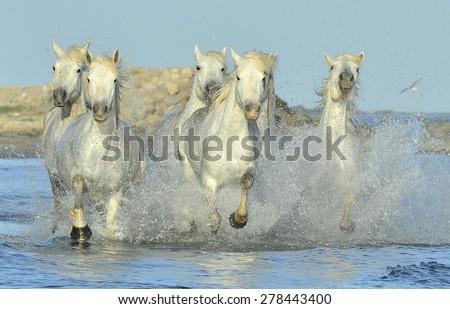 Herd of White horses of Camargue running through water  - stock photo