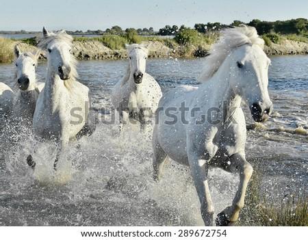 Herd of White Horses Running and splashing through water. Provance. France - stock photo