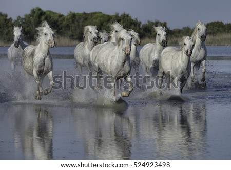 Herd of White Horses Running Through the Water