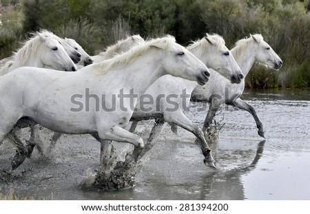 Herd of white horses running through water  - stock photo