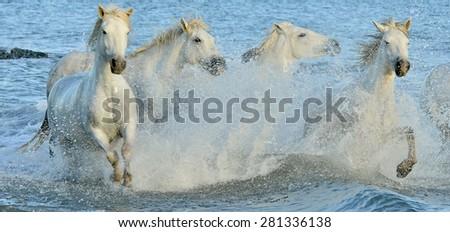 Herd of white horses running through water. Camargue white horse, Camargue, France - stock photo