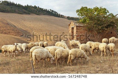 Herd of white sheep  in the sunset light (lat. Ovis aries)    - stock photo