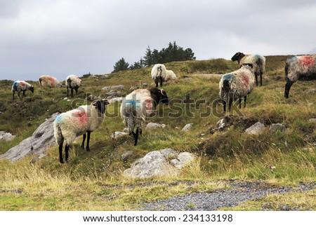 White sheep herd - photo#15