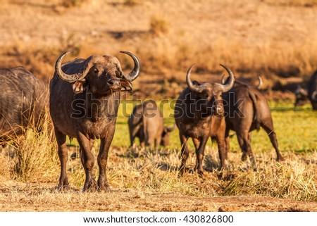 Herd of wild African cape buffalo - stock photo