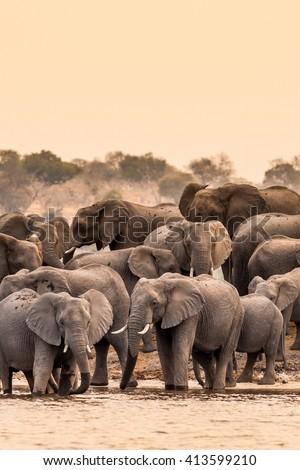 Herd of wild African elephants at the waterhole - stock photo