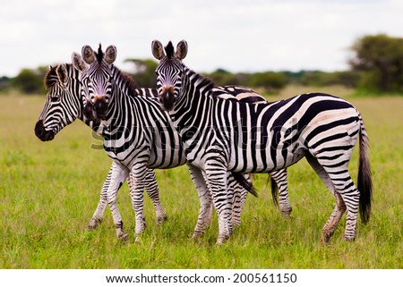 Herd of wild African Zebra looking at the camera - stock photo