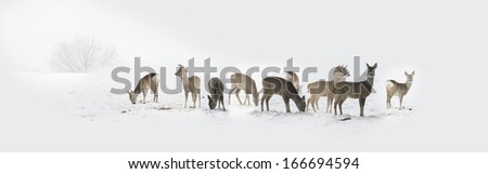 Herd of wild deers isolated in the snow - stock photo