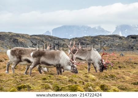 Herd of wild reindeer in Arctic tundra - stock photo