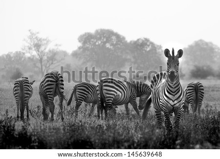 Herd of wild zebras in a African flood plain - stock photo