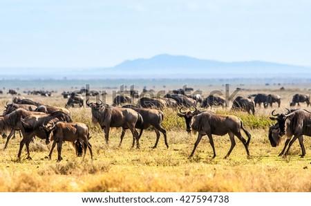 Herd of wildebeest - stock photo