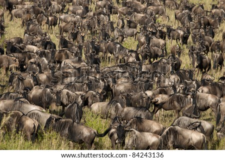 Herd of Wildebeest at the Serengeti National Park, Tanzania, Africa - stock photo
